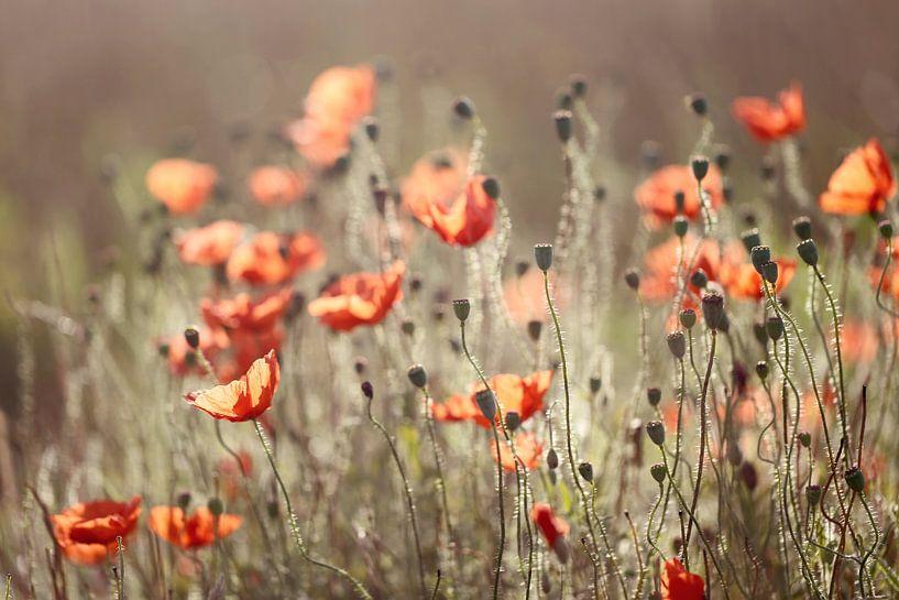 poppies in morninglight van Els Fonteine