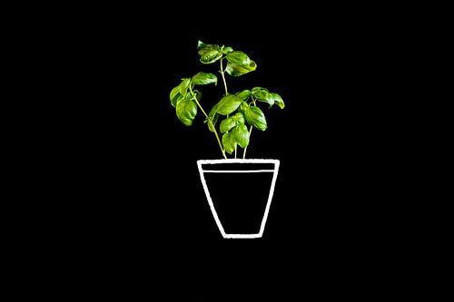 Basilicium in pot, green basil.