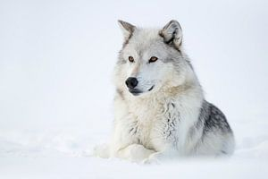 resting in snow... Gray Wolf *Canis lupus*