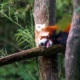 Kleiner Panda im Wald von Deimel Fotografie