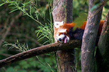 Rode panda in het bos van Deimel Fotografie