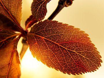 Blatt im Sonnenlicht / Blume / Blütenblätter / Blattkorn / Nervatur / Braun / Orange / Rot / Gelb /  von Art By Dominic