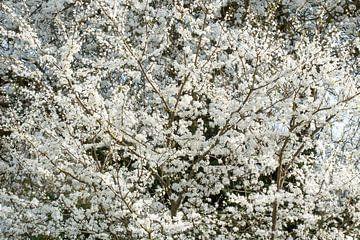 Witte lentetooi. van Tineke Koen
