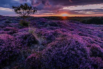 Bloeiende Heide 14 van Peter Heins