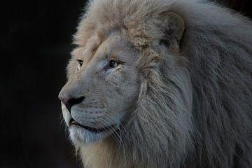Afrikaanse leeuw (Panthera leo) IV