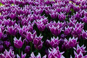 lila Tulpen mit weißem Rand im Tulpenfeld am Keukenhof von Margriet Hulsker