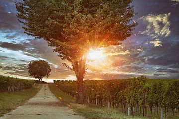 Wijngaarden in de Zuidelijke Pfalz van Norman Krauß