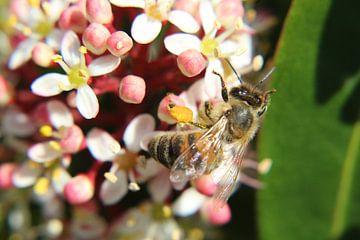 Honingbij bestuift de bloemen in de stuik van Anja Ruiter