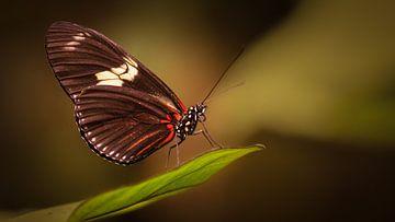 Zebra Longwing butterfly von