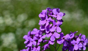 Lila Nachtviolen blühen im Frühling von Ulrike Leone