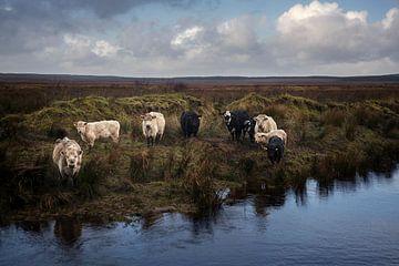 Weidevieh in Irland von Bo Scheeringa Photography