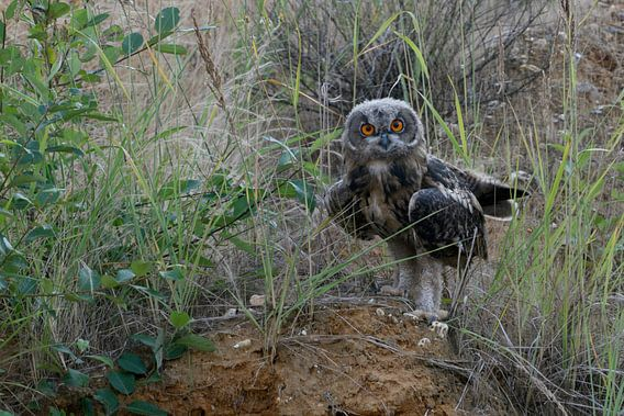 Eurasian Eagle Owl ( Bubo bubo ), young, moulting plumage, fledged, perched on the scarp of a sand p van wunderbare Erde