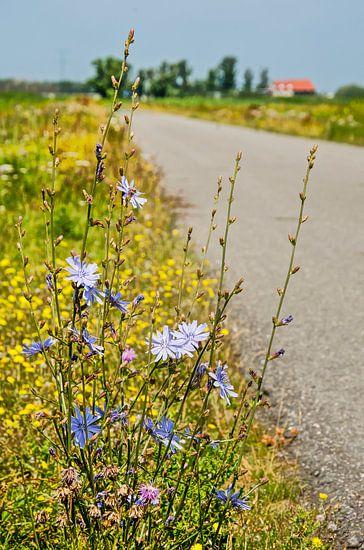 Cichorei langs een landweg