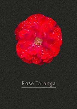 Rose Taranga van Leopold Brix