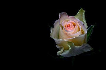 Shining beauty.... (bloem, roos, lente, liefde) sur Bob Daalder