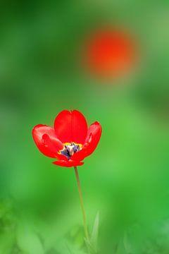 Tulpe von BVpix