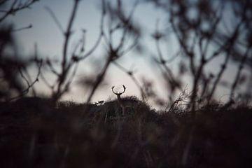 Hert in de duinen van Noordwijk, Nederland van Bram Jansen
