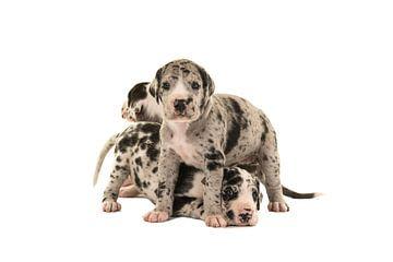 Schattige Duitse doggen puppy's van Elles Rijsdijk