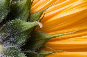 Sonnenblume Sunrich Gold von Margot van den Berg