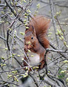 Eekhoorn in boom van Gonnie van Hove