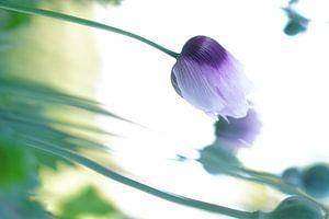 paarse klaprozen van K Top