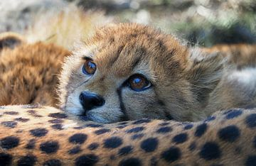 Junger Gepard von Eye to Eye Xperience By Mris & Fred