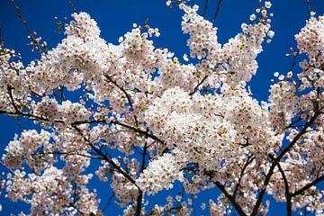 Sakura van Peter Leenen