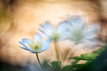 Wood anemone van Nicc Koch