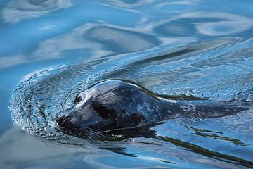 Californische zeeleeuw van Cilia Brandts