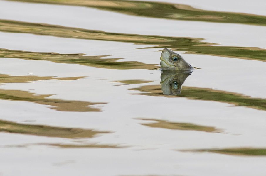 Moorse beekschildpad
