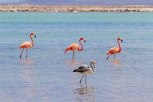 Gruppe roter karibischer Flamingos im Wasser vor der Küste von Bonaire