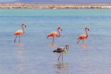 Groep rode caribische flamingo's staan in water aan kust van Bonaire van Ben Schonewille