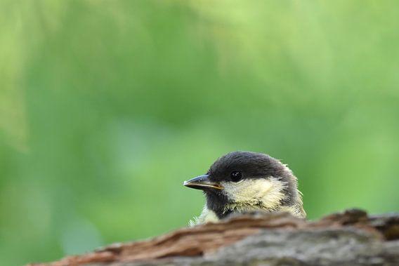 Jonge koolmees vogelkijkhut Veendam
