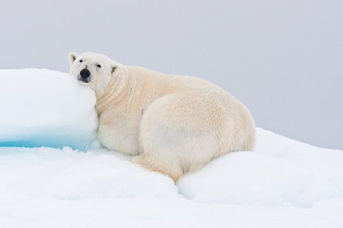 Rustende ijsbeer ligt op heuvel van sneeuw van