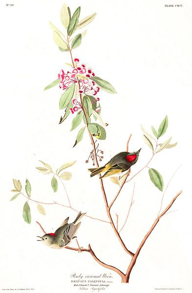 Roodkroonhaan van Birds of America