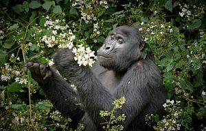 Mountain Gorilla mange des fleurs van