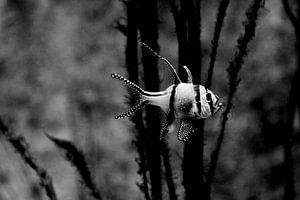eenzame tropische vis van