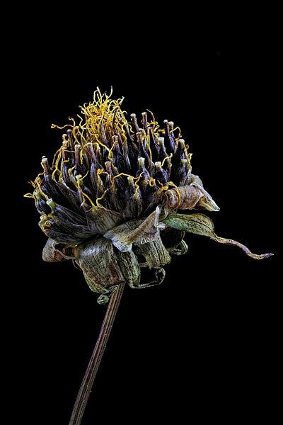 Upcycled Beauty - cosmea - Cosmos bipinnatus - sur Christophe Fruyt
