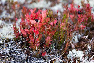 Kleurrijke begroeiing Rondane Noorwegen