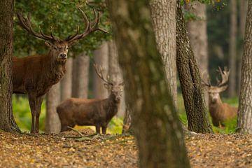 Bronze Rotwild in der Waldlandschaft von Jeroen Stel