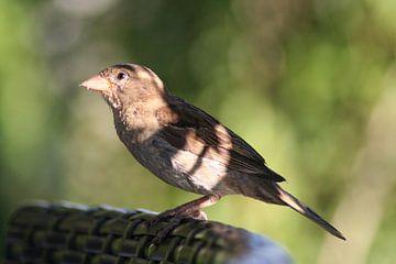 Vogel van Lieke Roeven