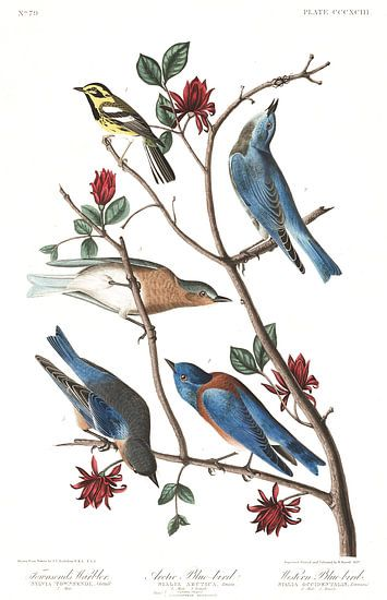 Townsends Zanger van Birds of America
