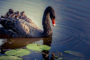 The Black Swan van GerART Photography & Designs