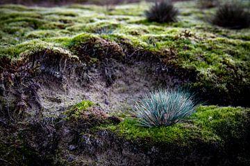 Een tapijt van mos in het Hulshorster Zand van Studio de Waay