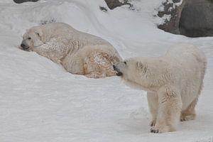 Zwei Eisbären - ein Männchen und ein Weibchen, die imposant auf dem Schnee liegen.