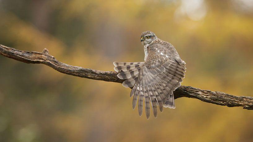 Sperberweibchen streckt die Flügel aus von Art Wittingen