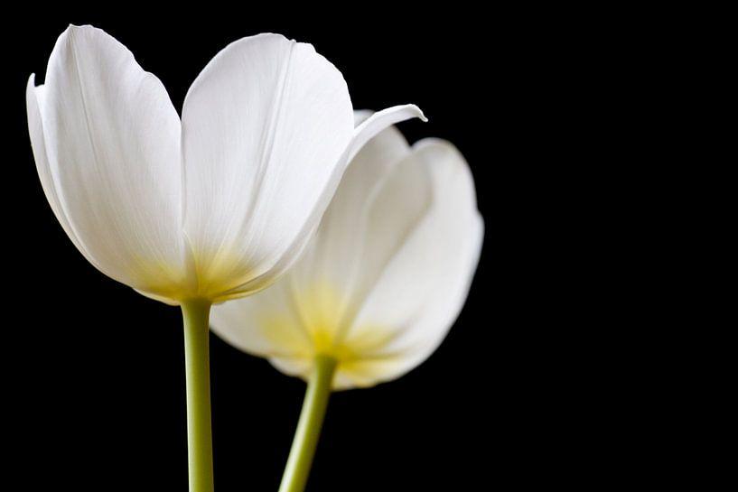 Twee Tulpen in het zonlicht  van Sabine Wiechmann