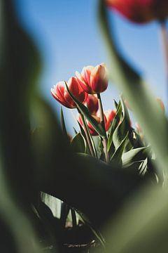 Tulpen in een natuurlijk doorkijkje van