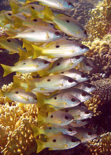 Vissen in de Rode Zee van Roel Beurskens