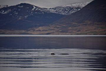 Ein kleiner Seehund schaut Sie an von Elisa in Iceland